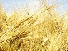 Getreidevermarktung